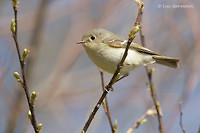 Photo - Ruby-crowned Kinglet